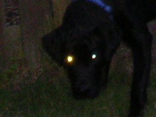 black labrador, labrador retriever, dog story, blovel
