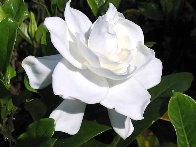 Amazing Flower White Mogra (2 Pics) ~ Artline : Feel The