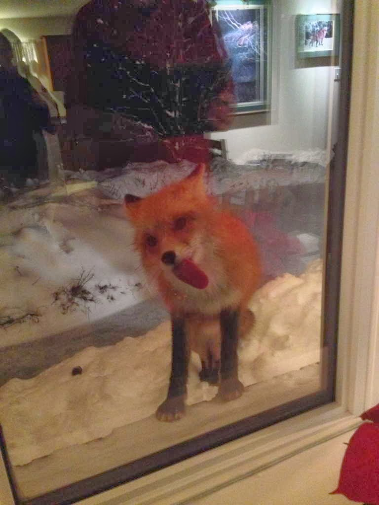 Funny animals of the week - 3 January 2014 (40 pics), fox licks window glass