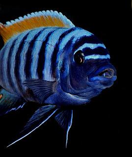Malawi cichlids a diet guide ashley kirk for Lake malawi fish