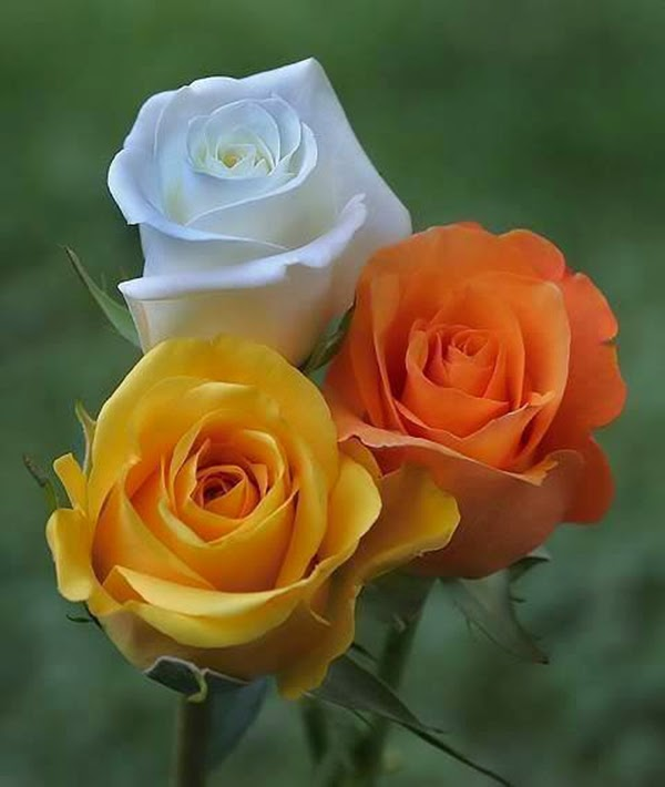 White yellow orange roses flowers pair image wallpapers pics mightylinksfo