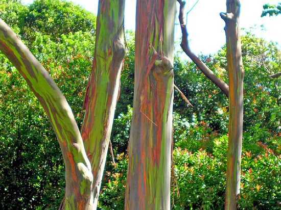 eucalyptus research papers
