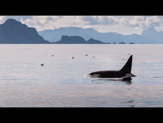 avistamiento orca islas lofoten
