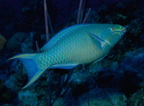 Queen parrotfish or scarus vetula for Blue parrot fish