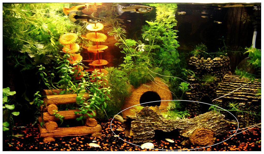 d 233 co aquarium guppy