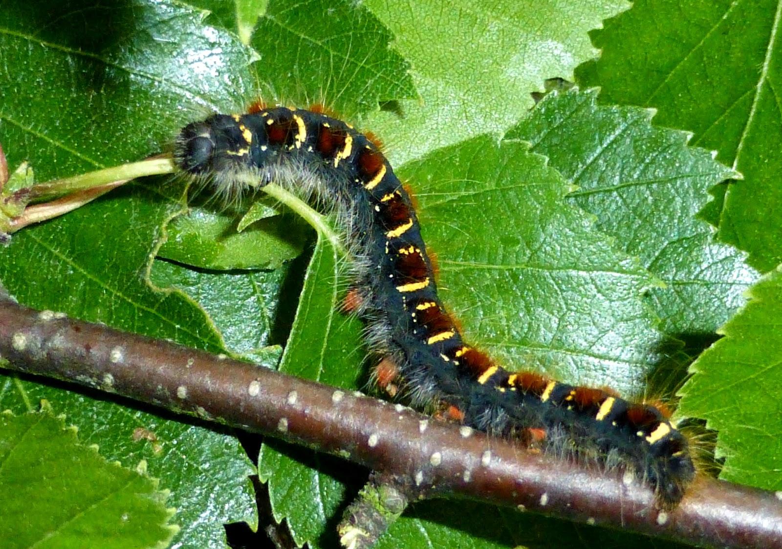 Eriogaster lanestris caterpillar