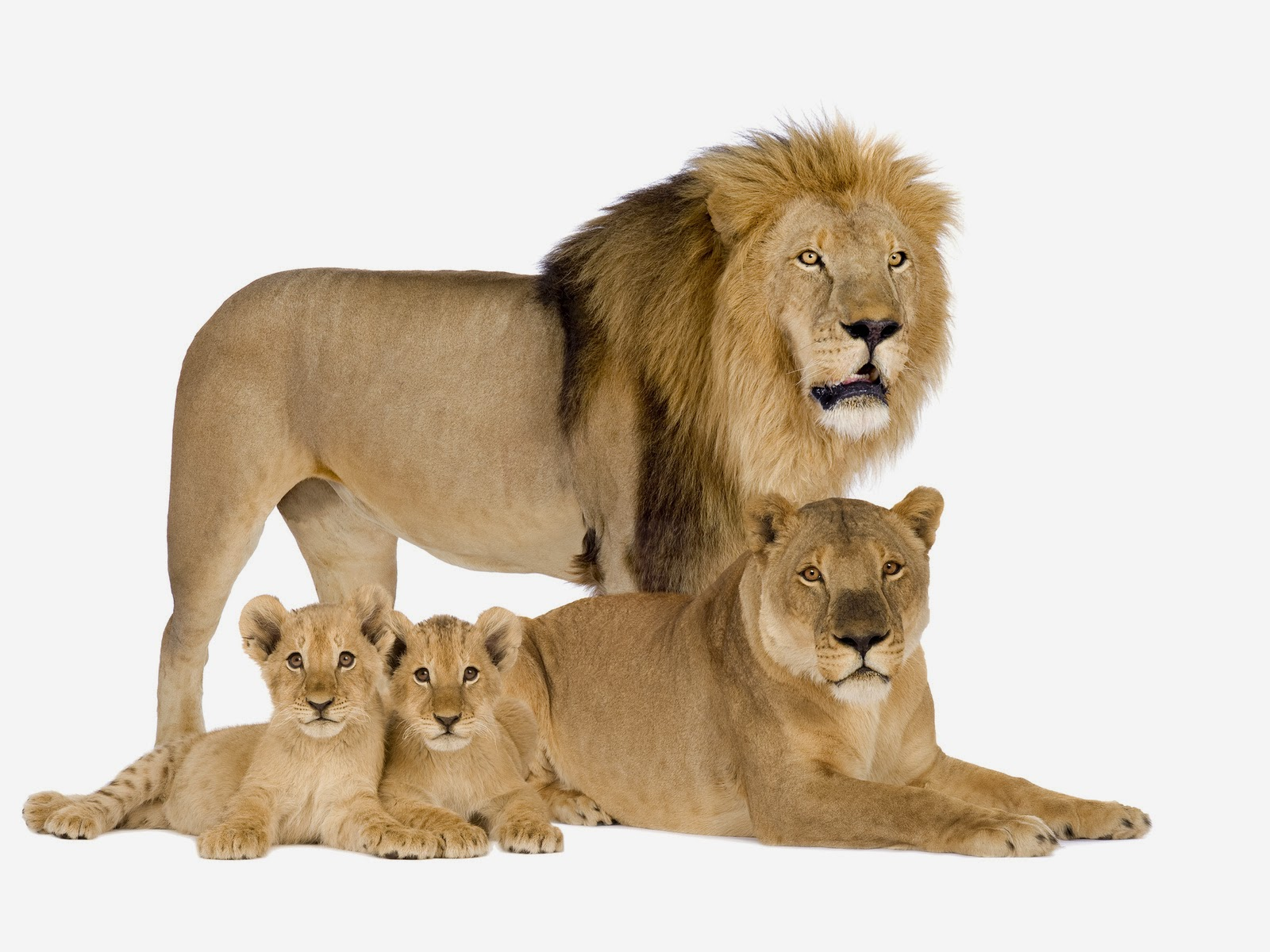 Top Pareja De Leones Wallpapers