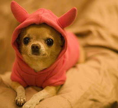 Pictures of Cute Chihuahuas Puppies
