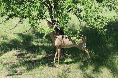 whitetail foraging on pear tree