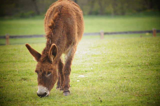 picture of a mule eating grass