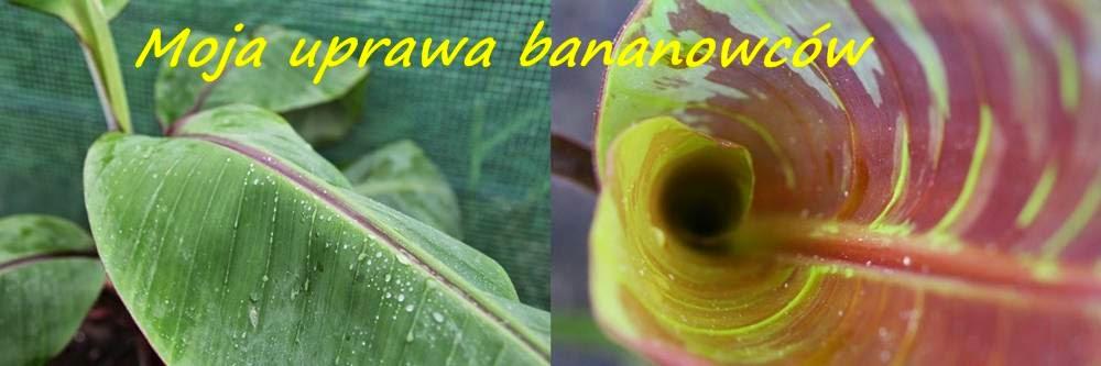 Moje banany i ich uprawa