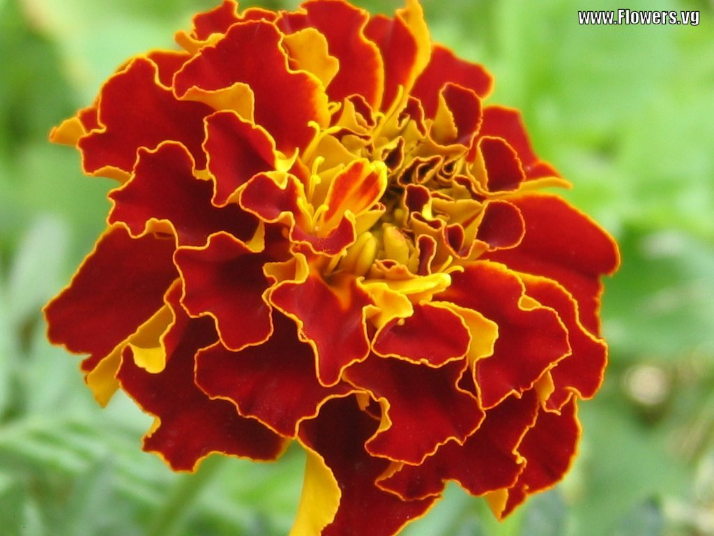 Free Wallpapers Marigold flower wallpaper Wallpaper Marigold Sayapatri flower
