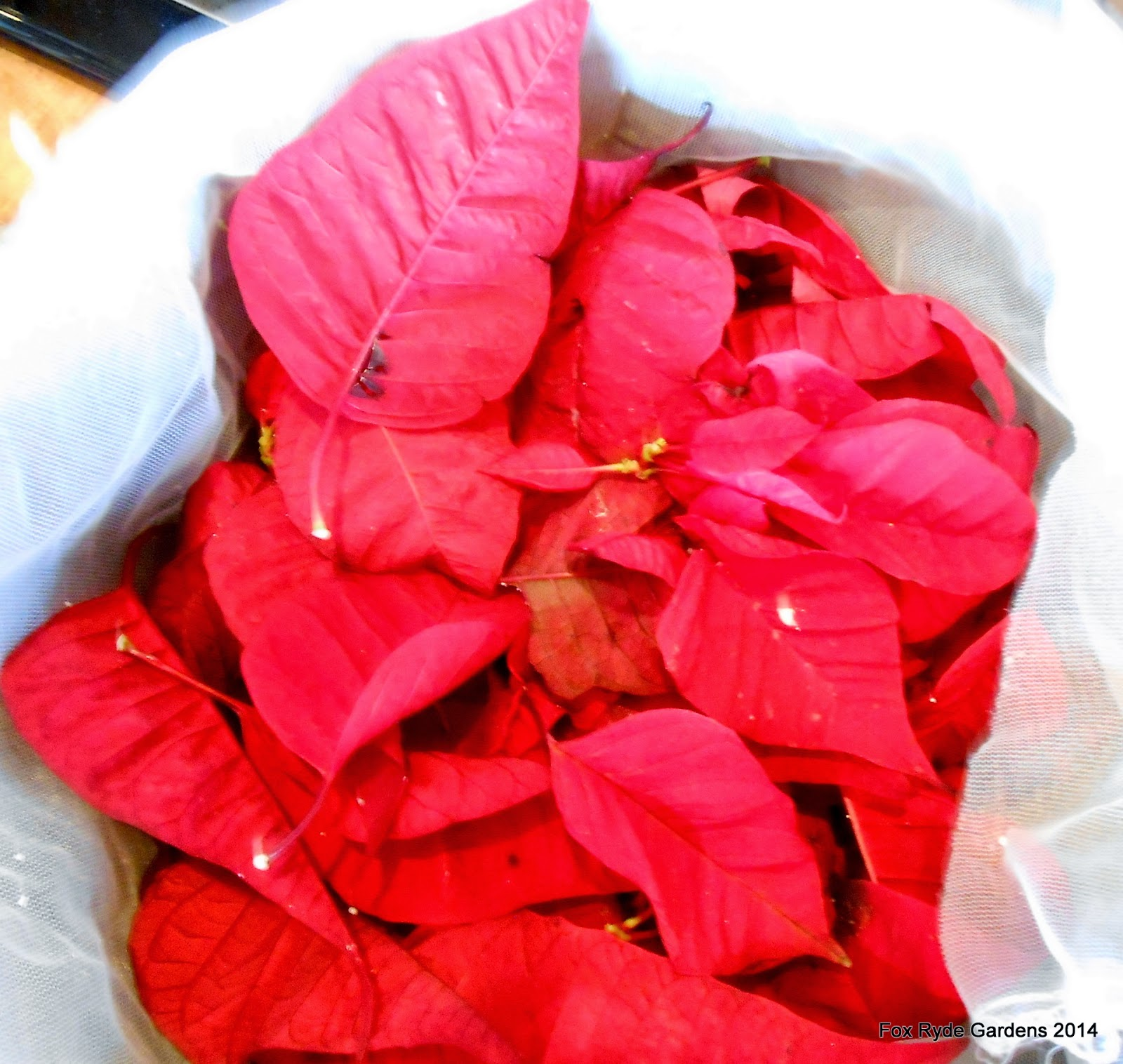 An Herb Scented Life: Natural dyeing with poinsettias