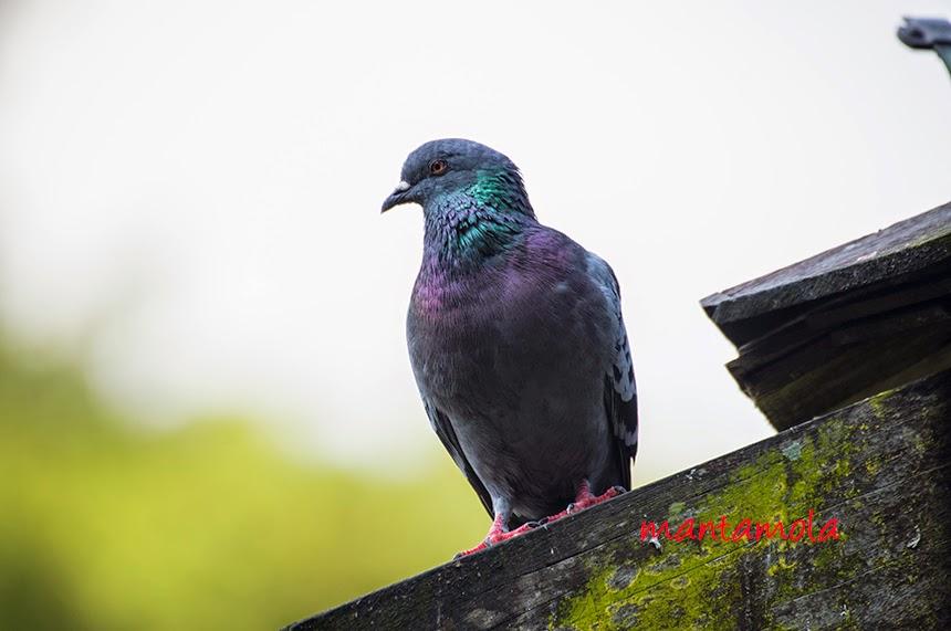 Rock Pigeon ( Columba livia )