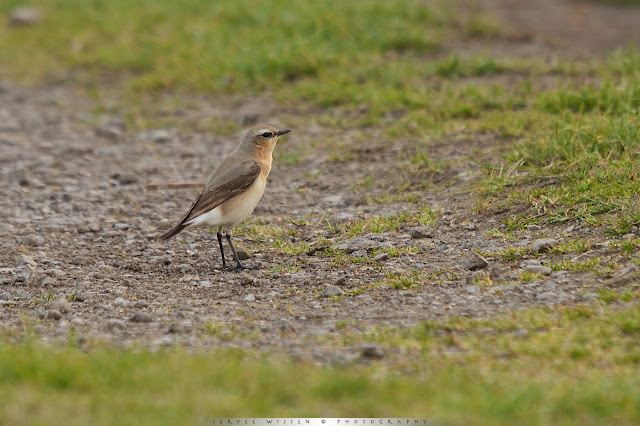 Tapuit (f) - Northern Wheatear (f) - Oenanthe oenanthe