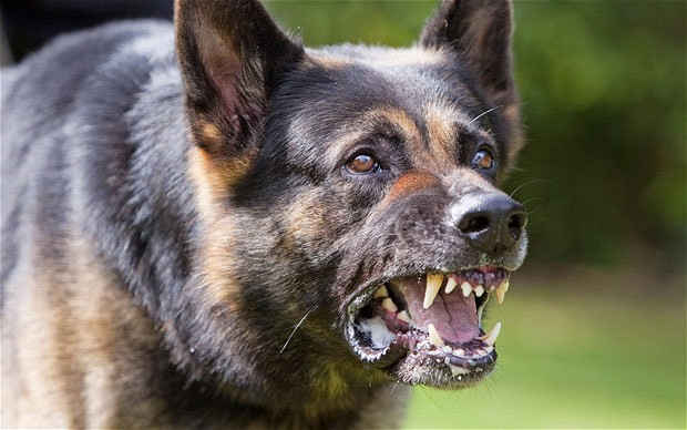 Vicious Dog Breeds Australia