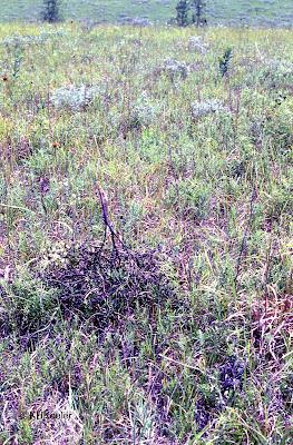 scurf pea tumbleweeding