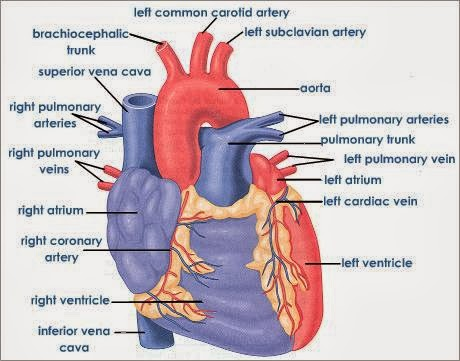 Anatomy of human heart