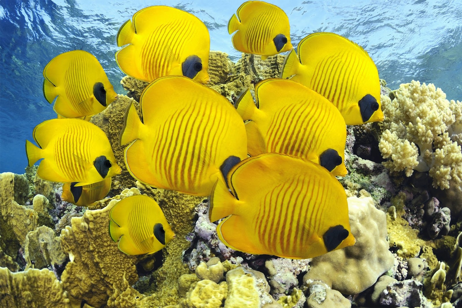C 39 est la vie for Butterfly fish freshwater