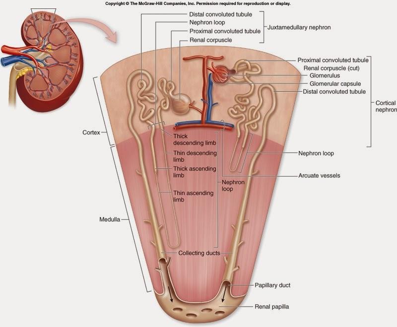 Blog del Internista: Resumenes de Nefrología - Estructura renal