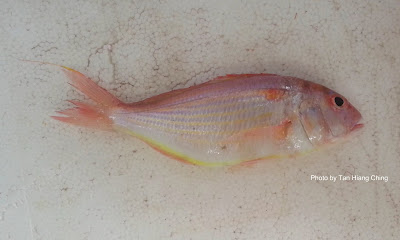 Japanese Threadfin Bream, Nemipterus japonicus