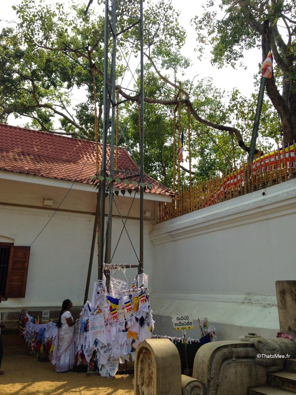 Arbre Bo branche sacrée Anuradhapura Sri-lanka