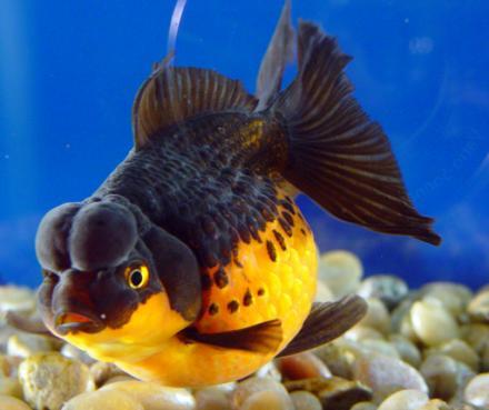 Pescaitos tipos de peces for Clases de peces de acuario