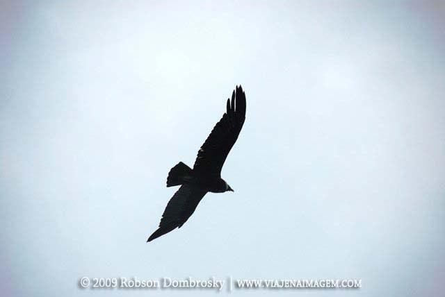 condor dos andes a maior ave de rapina do mundo