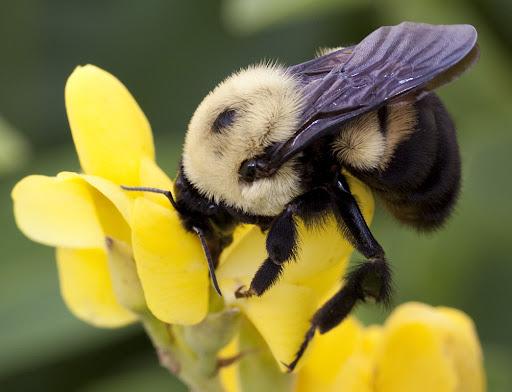 Bumblebee on yellow wild indigo Baptisia sphaerocarpa