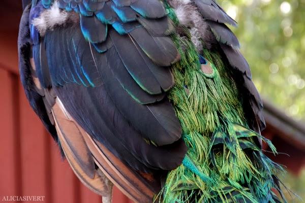aliciasivert, alicia sivertsson, alicia sivert, skansen, skansens höstmarknad, marknad, höst, market, autumn, peacock, leo, påfågel