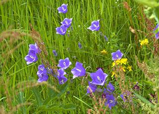 Albăstrica - (Campanula rotundifolia)