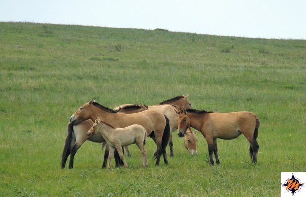 Hustai National Park, cavalli takhi