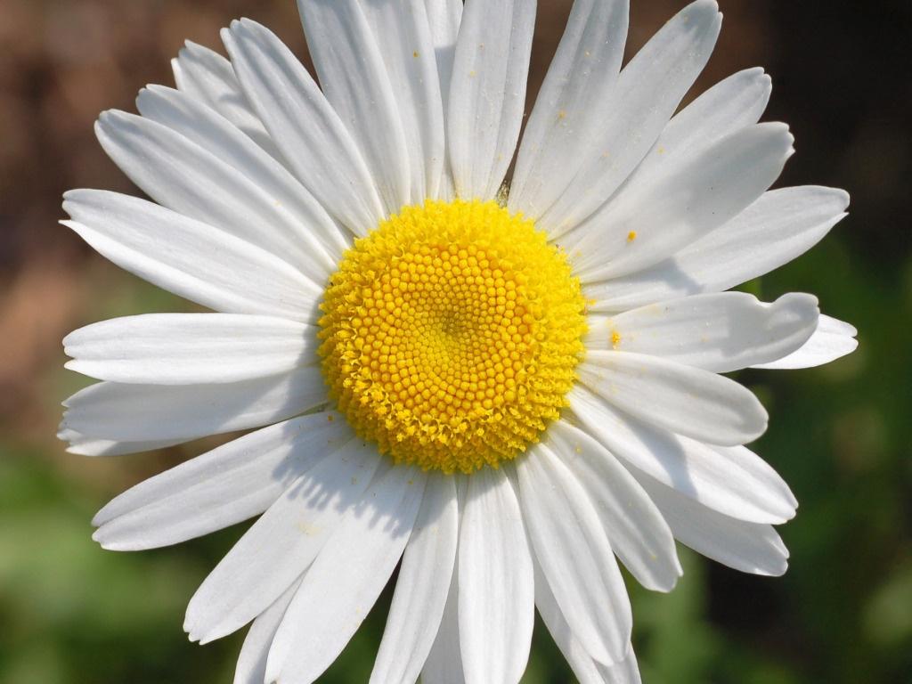 flores e framboesas apareceu a margarida ol ol ol