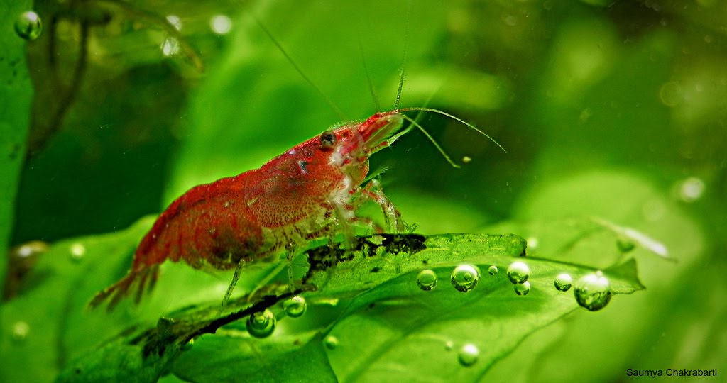 Keeping freshwater aquarium shrimp exotic tropical for Shrimp fish tank