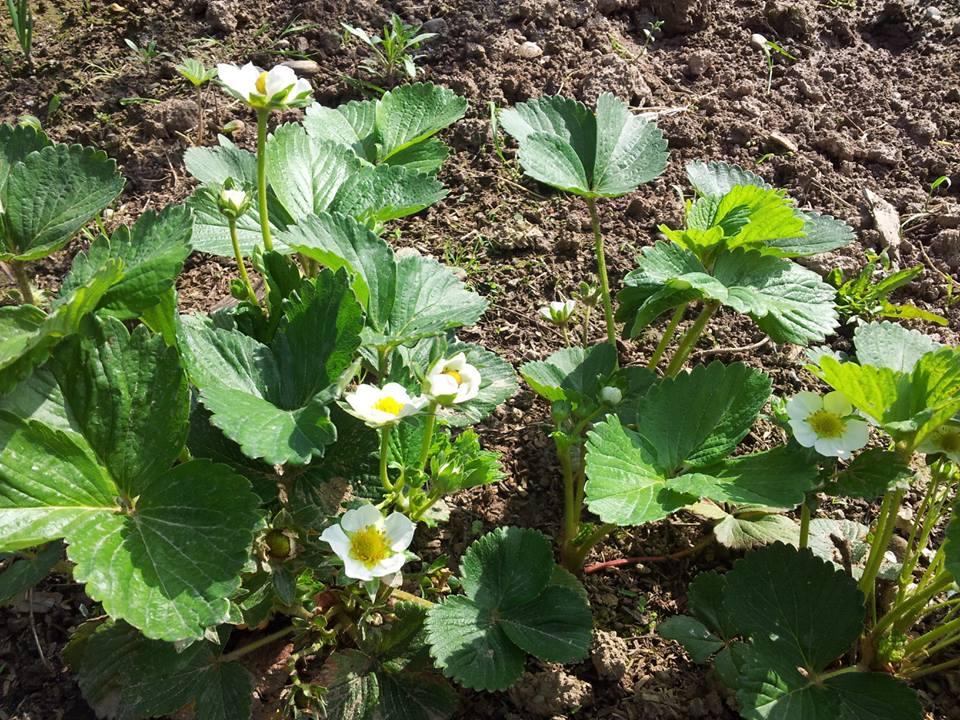 Stefycunsyinyourkitchen fragole dolci succose naturali for Pianta di fragole