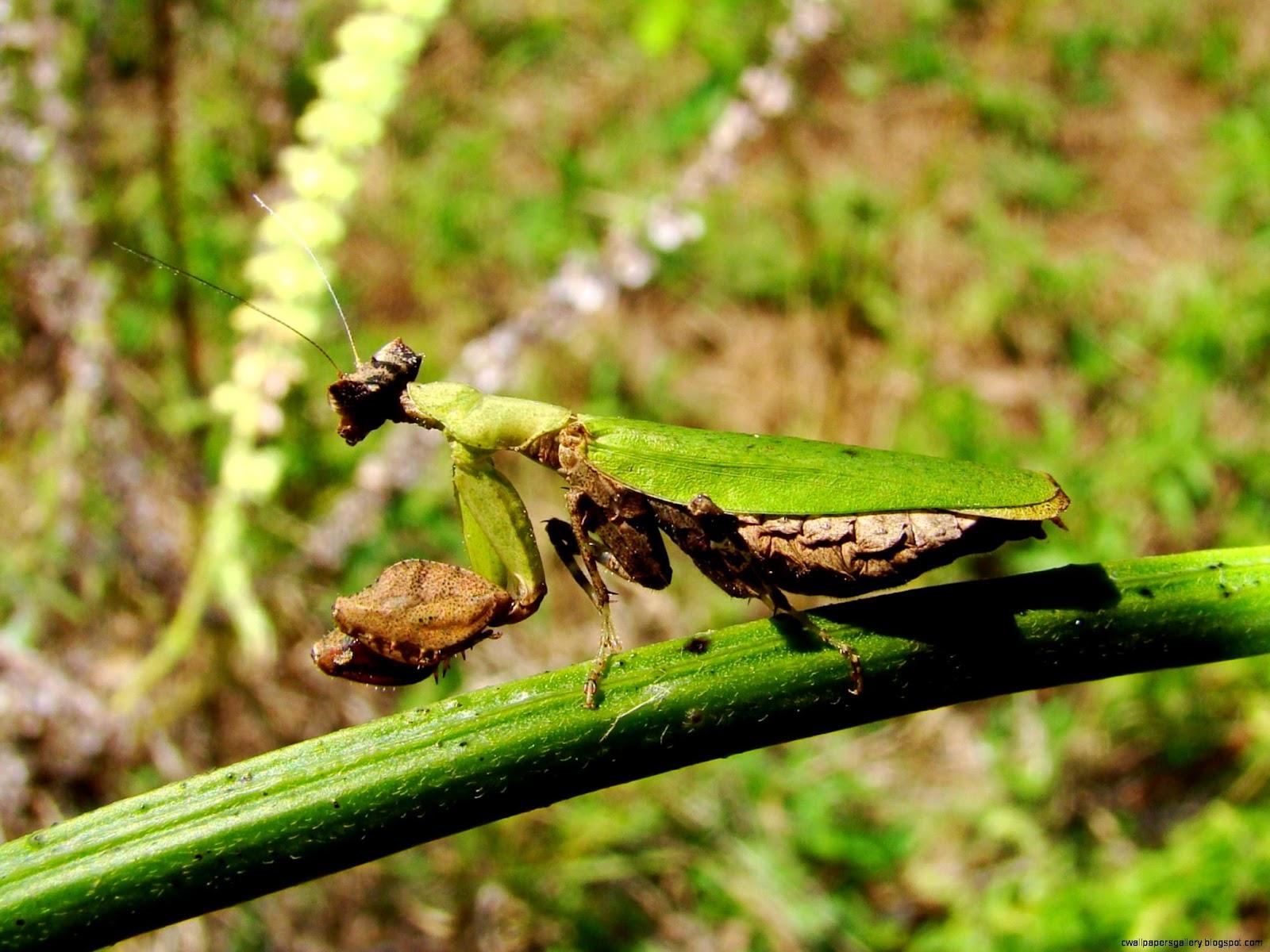 Brown and Green Praying Mantis