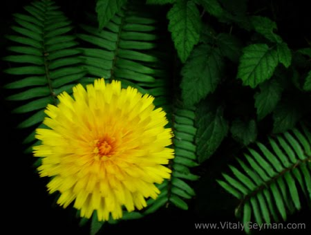 Beautiful flowers dandelion flowers pictures meanings for Dandelion flowers and gifts