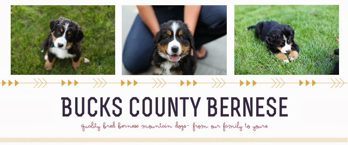 Bucks County Bernese