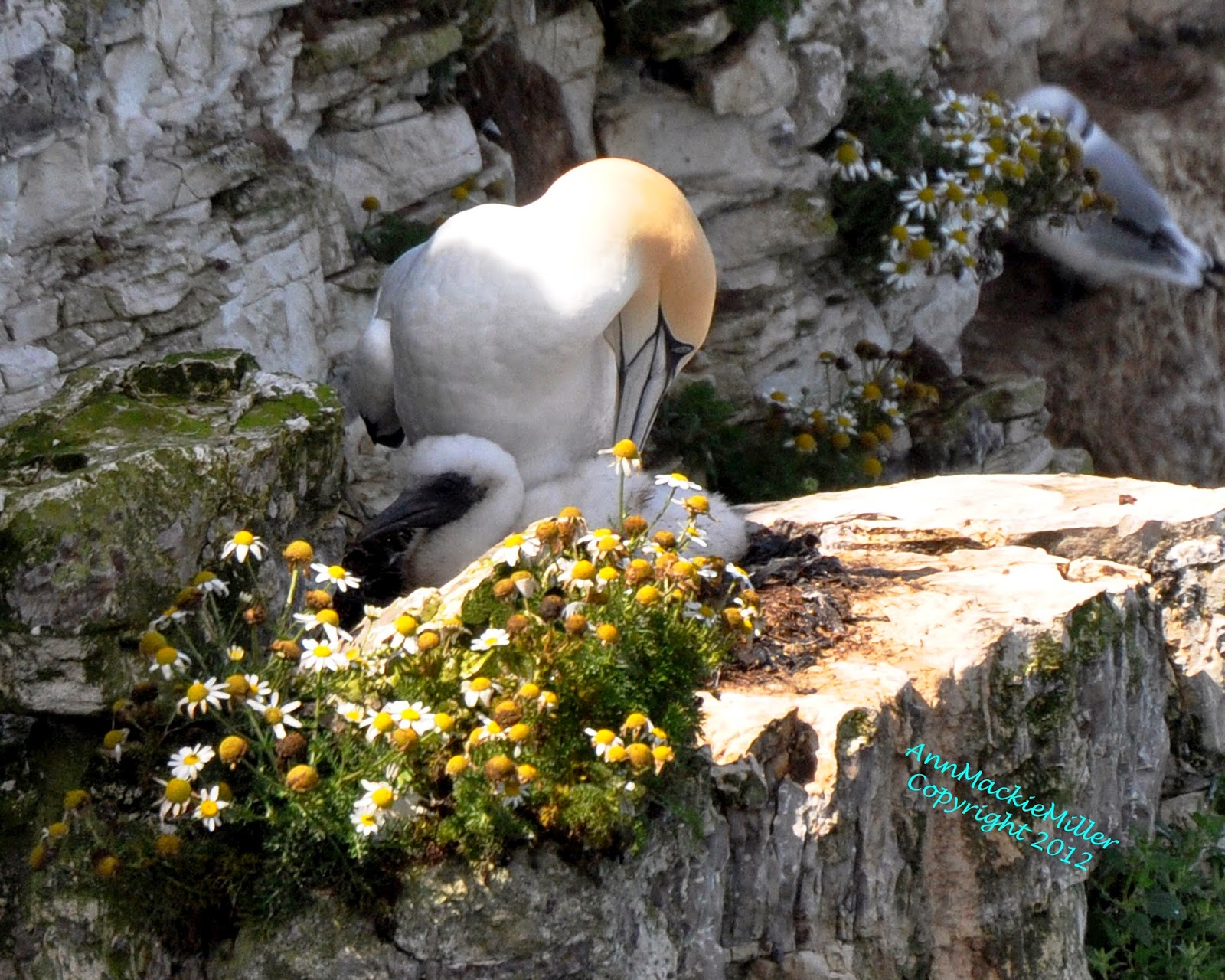 adult gannet preening with chick in nest