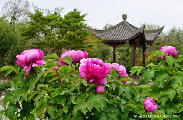 apr - Seattle Chinese Garden