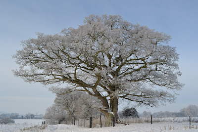 oak tree  in winter with hoar frost