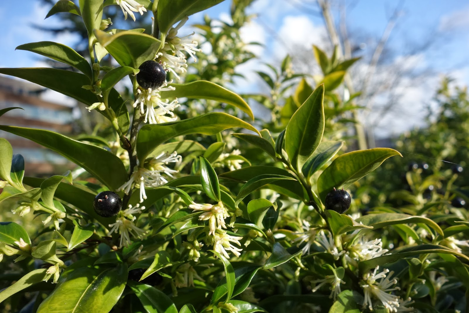 Flower bushes that bloom in winter -  Green Leaves And Inconspicuous White Very Sweetly Scented Flowers In January And February Grow In Humus Rich Well Drained Soil In Part Shade Or Shade