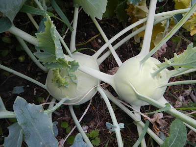 growing and preserving kohlrabi