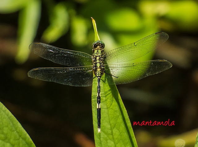 Dragonfly (Orthetrum sabina)