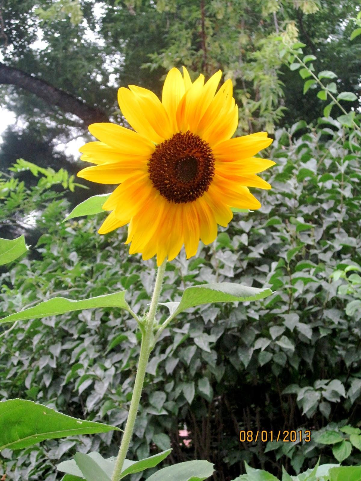 summer sunflowers andrea - photo #21