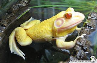 katak albino