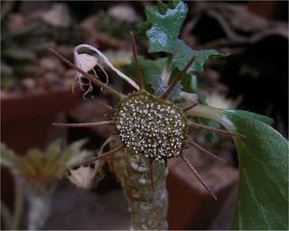 Dorstenia gypsophila flower