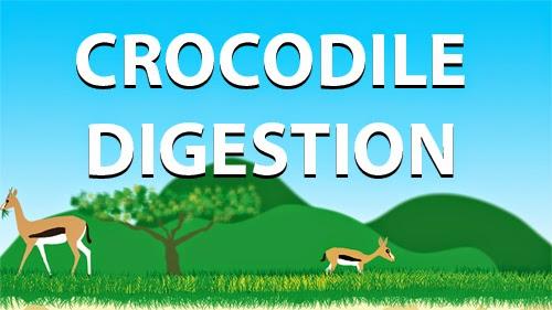 Crocodile digestion