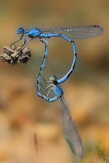 Para ampliar Enallagma cyathigerum (Charpentier, 1840) Caballito del diablo azul hacer clic