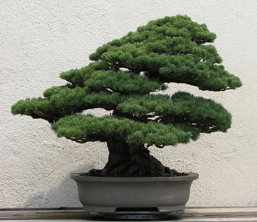 Palla di mele vasi da bonsai for Bonsai vasi